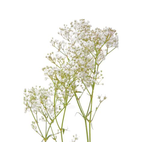baby s baby s breath flower muse