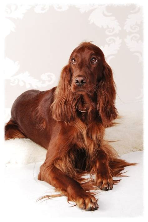 irish setter family dog 632 best images about family dogs past n present on