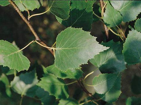 fiori betulla betulla betula utilis giardinaggio mobi