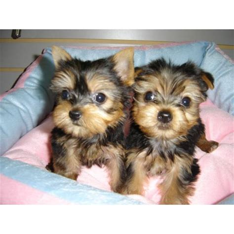 yorkie terriers for free baby puppies for free adoption breeds picture