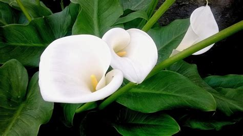 pianta con fiori bianchi tipo calla flores y 193 rboles alcatraces o zantedeschia flores