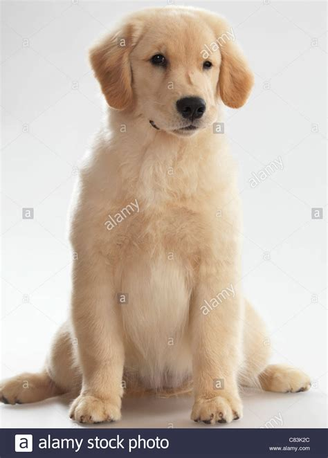 4 month golden retriever humorous portrait of a winking golden retriever 4 month puppy stock photo royalty