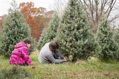 get a christmas tree cutting permit colorado country