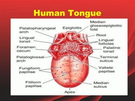sections of the tongue label taste bud diagram taste bud anatomy elsavadorla