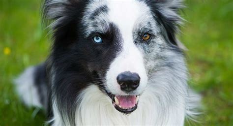 dogs with different colored dogs with different colored heterochromia in dogs