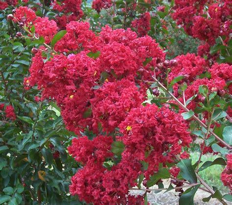 crape myrtle colors crape myrtles provide summer color landscapes