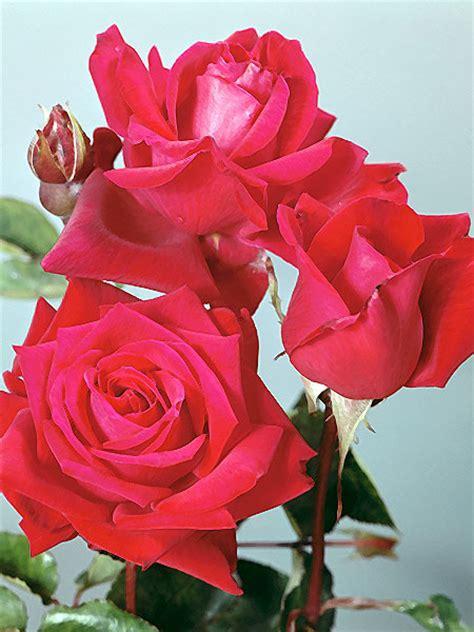 imagenes rosas bellas imagenes de bellas rosas bellas imagenes para compartir