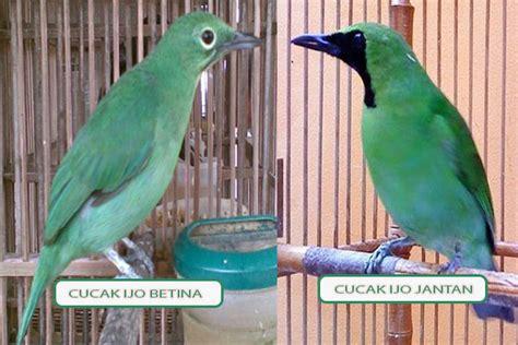 Alat Tes Dna Burung 7 cara membedakan cucak ijo jantan dan betina beserta