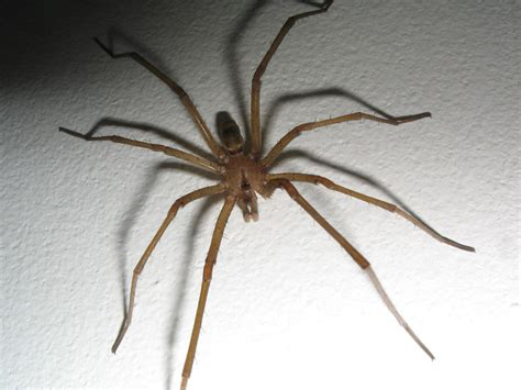 Do House Spiders Bite by How To Tell If A Spider Is Not A Brown Recluse Spiderbytes