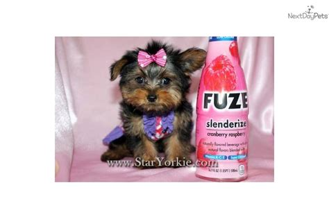 how much do purebred yorkies cost teacup yorkie how to avoid buying a sick breeds picture