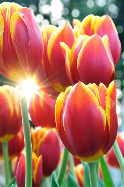 beautiful spring flowers beautiful spring time flowers tulips photography flowers pinterest declaration of