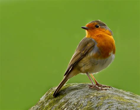 barrie h kelly robins robin quot erithacus rubecula quot