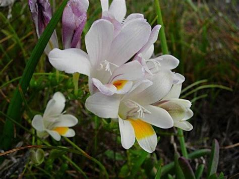fresia fiore la fresia fiori in giardino