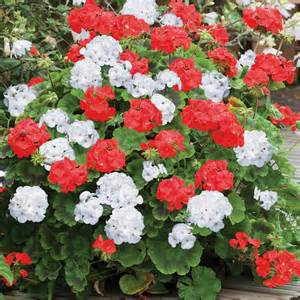 white geraniums flowers flower plants annual bedding plants geranium st george container