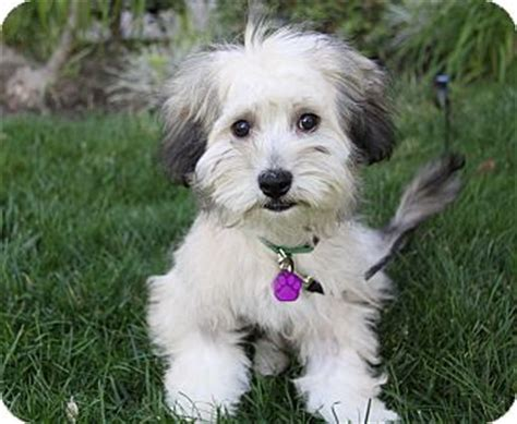 havanese puppies for adoption in california havanese breed information and puppy tips breeds picture