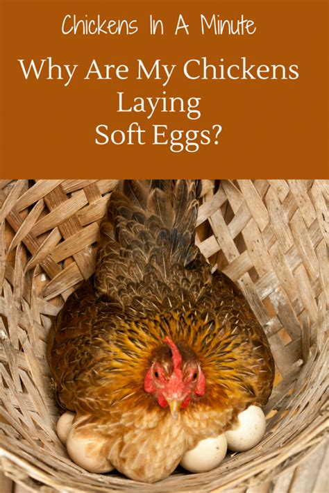 why does my lay on my why are my chickens laying soft eggs chickens in a minute countryside network