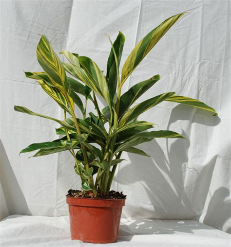 tropical foliage house plants foothill tropicals inc indoor tropical house plants
