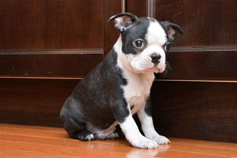 miniature boston terrier puppies for sale in miniature boston terrier puppies available breeds picture