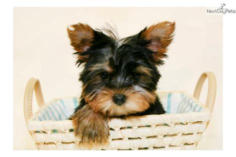 teacup puppies for sale in ohio 200 terrier yorkie puppy for sale near columbus ohio eb24e0c6 5e91