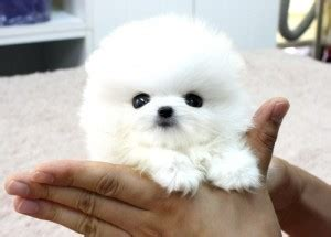 pomeranian for sale in dallas pomeranian puppies for sale dallas tx 209365 petzlover