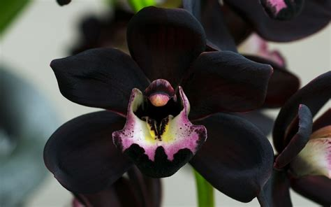 The Black Orchid black orchid flower pictures wallpapers13
