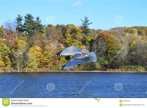 seagull in flight stock photo image 62335167