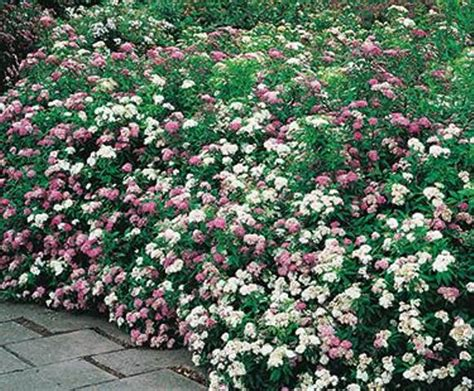 pink peppermint spiraea peppermint stick coloradohardyplants com
