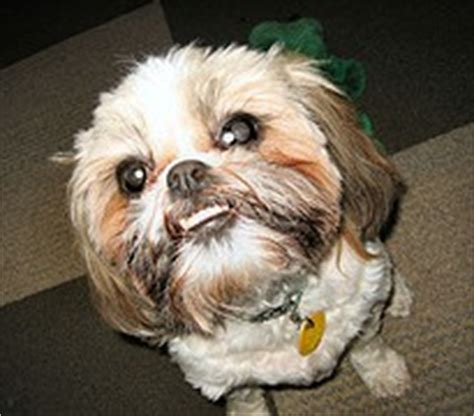 shih tzu teeth problems shih tzu teeth problems related keywords shih tzu teeth problems keywords