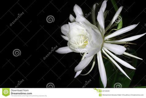 fiore raro fiore raro della di notte immagine stock libera da