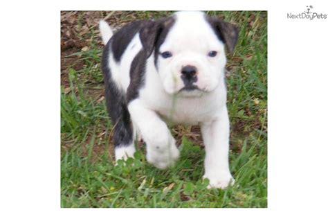 alapaha blue blood bulldog puppies pin alapaha blue blood bulldogs dogs twenty two on