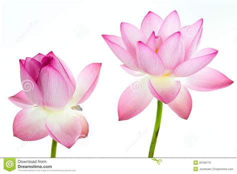Emberly Top Z By Lotuz pink lotus flower and white background stock photo