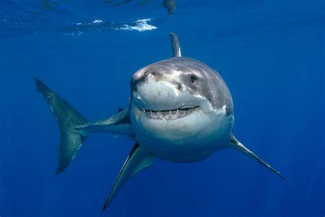libro the shark in the tubar 227 o branco igui ecologia