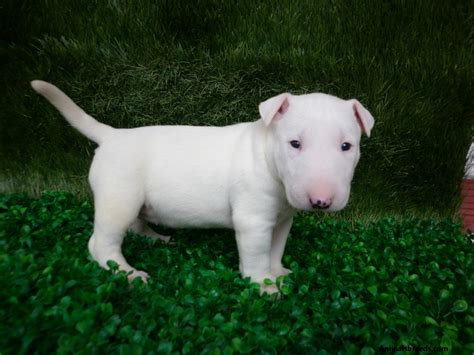 puppy bull terrier miniature bull terrier pictures information temperament characteristics animals