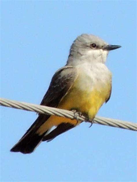 western kingbird in the sonoran desert
