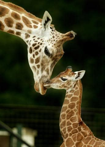 facts  giraffes facts  zebras tedlillyfanclub