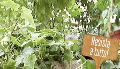 edera in vaso edera in vaso la pianta da regalare anche in inverno leitv