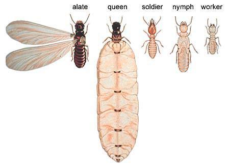 termite caste