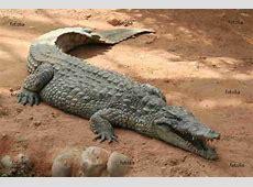 Un crocodile s'en allant à la guerre - DUCblogON Logon Plus