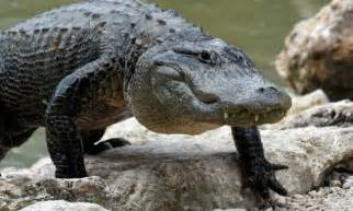 gator on the rise florida alligator attack threats on the rise as creatures use canals as freeways daily mail