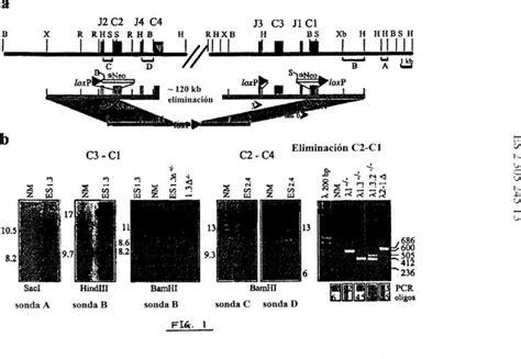 cadenas kappa lambda locus de la cadena ligera lambda de rat 243 n patentados