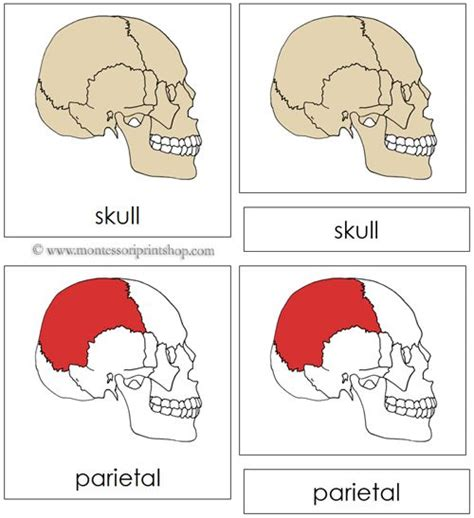 Template For Montessori Nomenclature Cards by 83 Best Images About Health Science Other Nomenclature