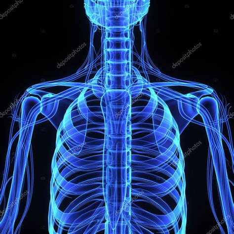 gabbia toracica anatomia gabbia toracica umana anatomia foto stock 169 sciencepics