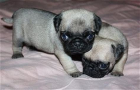pugs for sale in denver healthy babies pugs available for sale philadelphia for sale philadelphia pets dogs