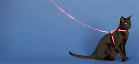 how to your to walk without a leash how to your cat to walk on a leash