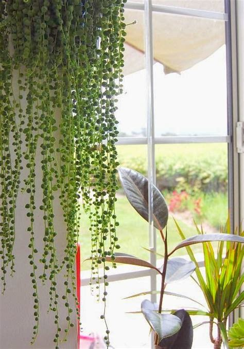 Moon To Moon House Plant String Of Pearls