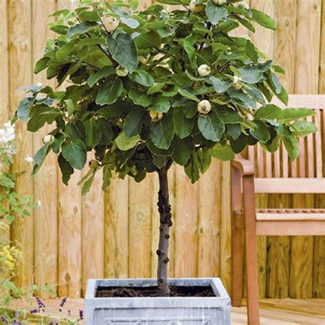 2 fruit trees in one 79 best images about fruit trees grown in pots on