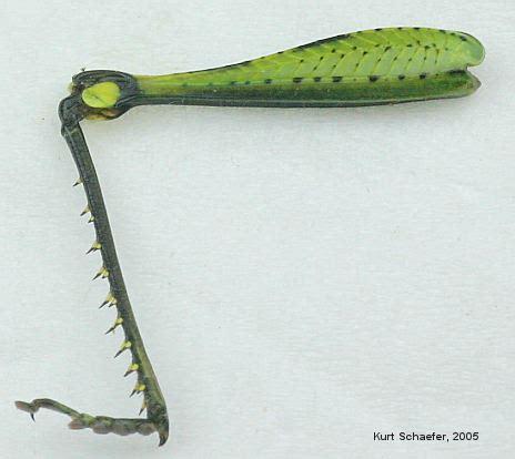Outside Plants schistocerca obscura obscure bird grasshopper