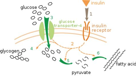 insulin and glucose diagram understanding our bodies insulin nutrition