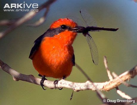 simon schuster s guide to birds fireside book vermilion flycatchers watching from above lee s