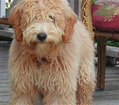 mini doodles ontario mini golden doodle breeds picture breeds picture